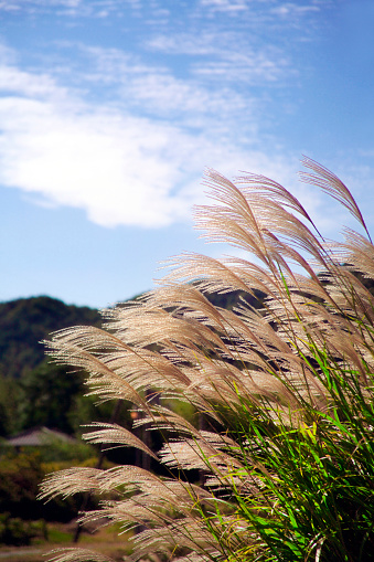Japanese pampas grass「Japanese Pampas Grass」:スマホ壁紙(4)