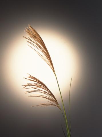 Japanese pampas grass「Japanese Pampas Grass」:スマホ壁紙(1)