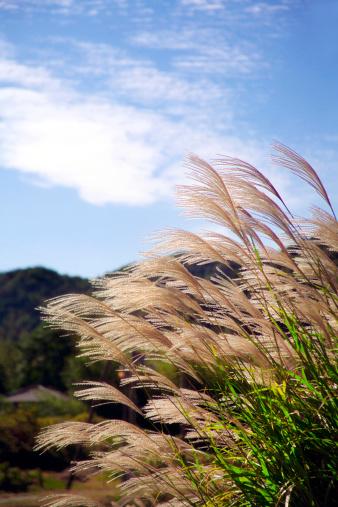 Japanese pampas grass「Japanese Pampas Grass」:スマホ壁紙(0)
