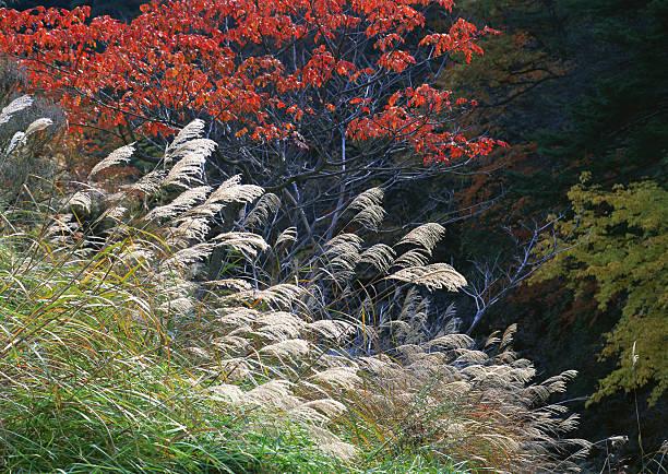 Japanese Pampas Grass:スマホ壁紙(壁紙.com)