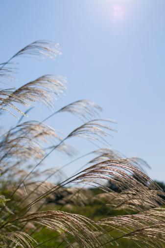 Japanese pampas grass「Japanese pampas grass」:スマホ壁紙(3)