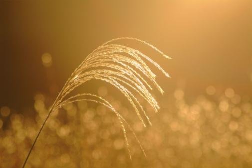 Japanese pampas grass「Japanese Pampas Grass」:スマホ壁紙(10)