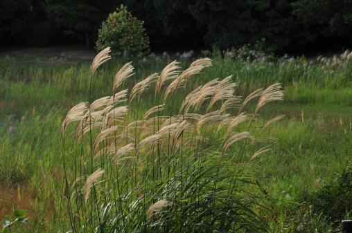Japanese pampas grass「Japanese pampas grass, Tokyo Prefecture, Honshu, Japan」:スマホ壁紙(12)