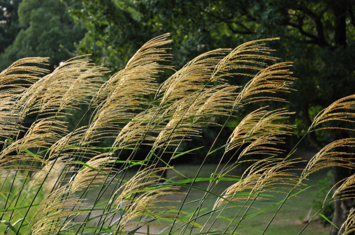 Japanese pampas grass「Japanese pampas grass, Tokyo Prefecture, Honshu, Japan」:スマホ壁紙(11)