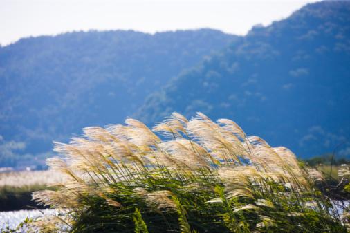 Japanese pampas grass「Japanese pampas grass, Omihachiman, Shiga Prefecture, Japan」:スマホ壁紙(4)