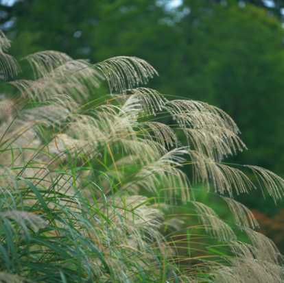 Japanese pampas grass「Japanese pampas grass, Uonuma, Niigata Prefecture, Japan」:スマホ壁紙(2)