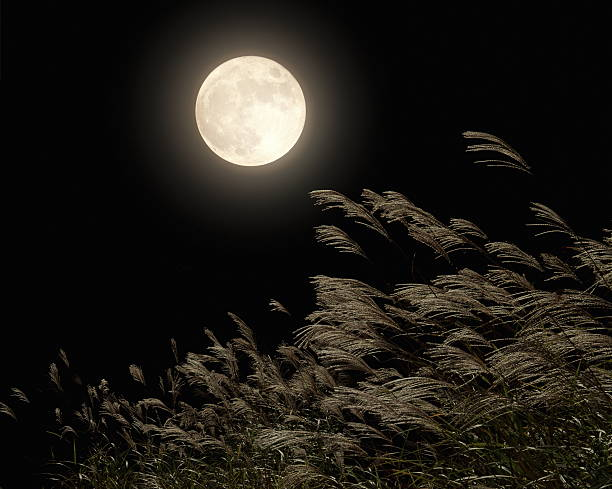 Japanese pampas grass under moon:スマホ壁紙(壁紙.com)