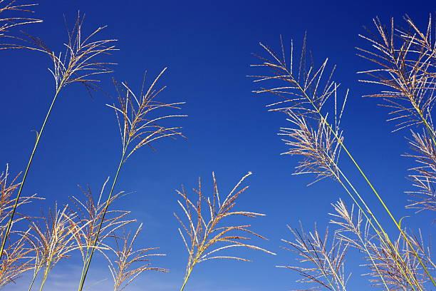 Japanese pampas grass under a blue sky:スマホ壁紙(壁紙.com)