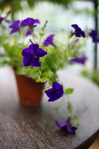 ペチュニア「Petunia」:スマホ壁紙(4)