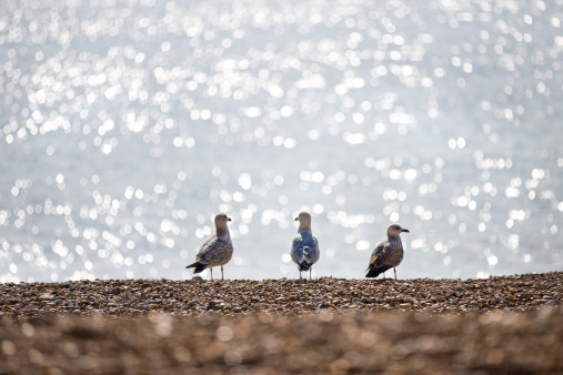 Herring Gull「Three seagulls on a beach.」:スマホ壁紙(4)
