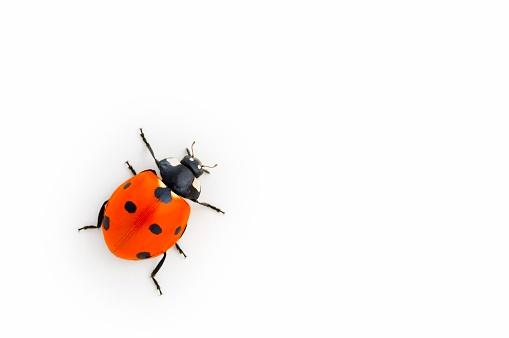 Beetle「Lady Bug on White Background」:スマホ壁紙(13)