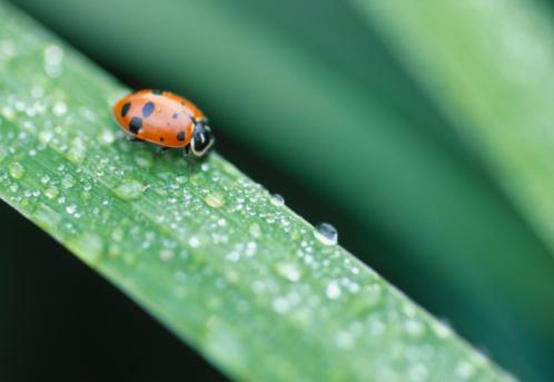 Ladybug「Lady Bug on Grass Blade」:スマホ壁紙(6)