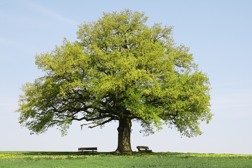 Pasture「Single old oak tree with benches on meadow in spring」:スマホ壁紙(1)