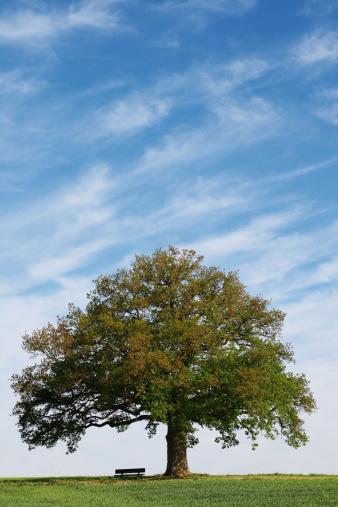 Single Tree「Single old  oak tree with bench on field」:スマホ壁紙(0)
