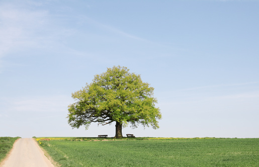 Single Tree「Single old  oak tree with benches behind young wheat field」:スマホ壁紙(16)