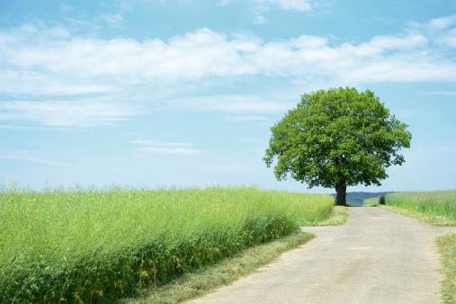 アブラナ「1 以上のオークにファーム road からキャノーラフィールド」:スマホ壁紙(5)