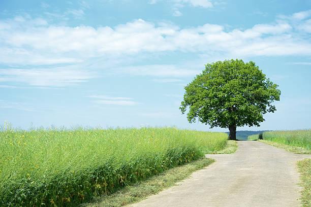 Single old oak tree at farm road between canola fields:スマホ壁紙(壁紙.com)