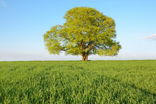 Single Tree「Single old beech tree on young wheat field in spring」:スマホ壁紙(8)