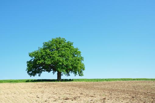 Single Tree「Single old oak tree in spring on agriculture field」:スマホ壁紙(17)
