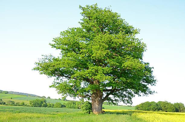 Single old oak tree on meadow in spring:スマホ壁紙(壁紙.com)