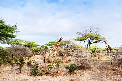 Giraffe「Two giraffes in the Selous Game Reserve in Tanzania」:スマホ壁紙(11)