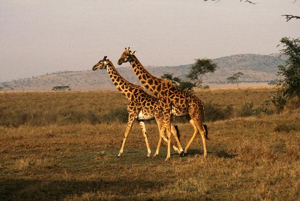 Giraffe「Village Mto-Wa-Mbu」:写真・画像(6)[壁紙.com]