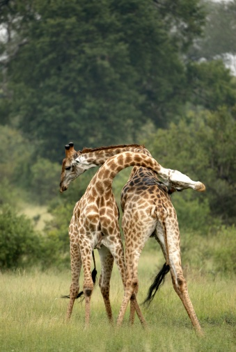 Giraffe「Two Giraffes (Giraffa camelopardalis) Side By Side Necking each other in a Challenge」:スマホ壁紙(3)