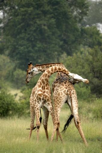 Giraffe「Two Giraffes (Giraffa camelopardalis) Side By Side Necking each other in a Challenge」:スマホ壁紙(11)