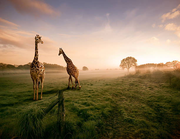 Two giraffes:スマホ壁紙(壁紙.com)