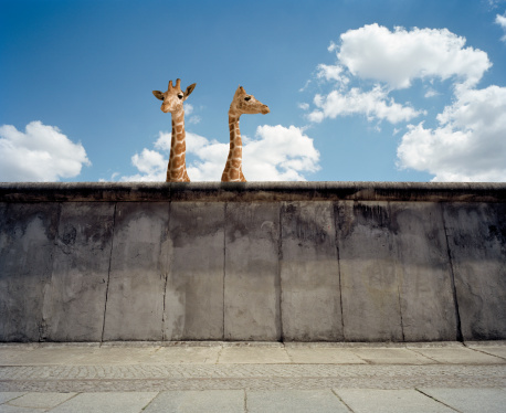 Giraffe「Two giraffes watching from a wall」:スマホ壁紙(15)