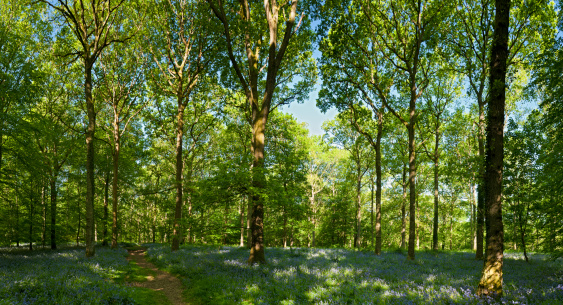 Copse「Vibrant green spring forest idyllic wilderness woodland trail panorama」:スマホ壁紙(15)