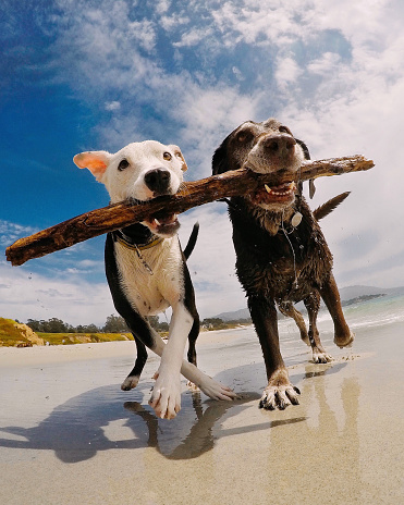 Pets「Two dogs carrying a stick on the beach, Carmel-by-the-Sea, California, America, USA」:スマホ壁紙(3)