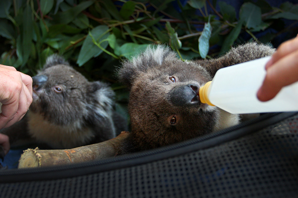 Kangaroo「Kangaroo Island Begins Recovery Process Following Devastating Bushfire Season」:写真・画像(19)[壁紙.com]