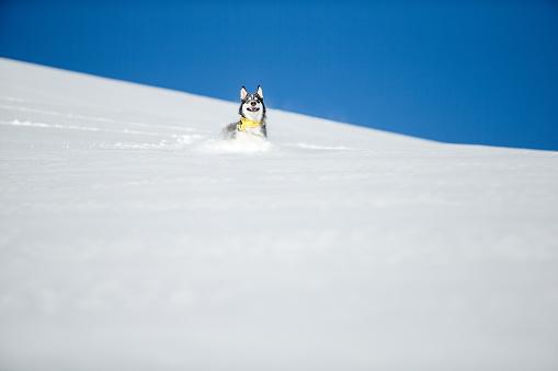 雪の吹きだまり「Happy smiling dog running through deep snow.」:スマホ壁紙(7)