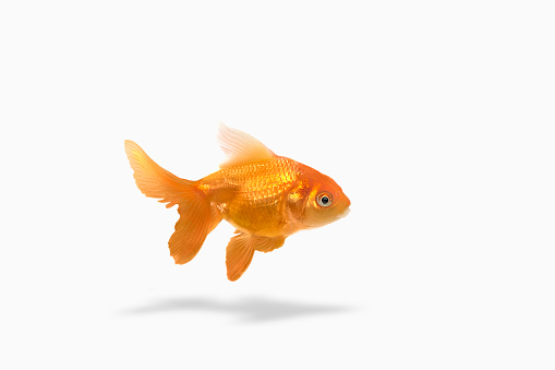 一匹「Goldfish floating on white background」:スマホ壁紙(12)