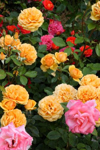 Haslemere「Roses in full bloom in English garden.」:スマホ壁紙(19)