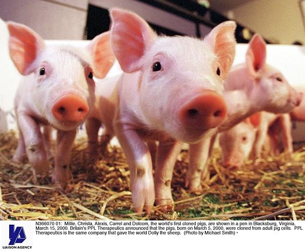 Livestock「World's First Cloned Pigs」:写真・画像(4)[壁紙.com]