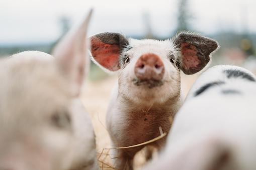 Pigpen「Cute Baby Pigs Close Up At Organic Farm」:スマホ壁紙(10)