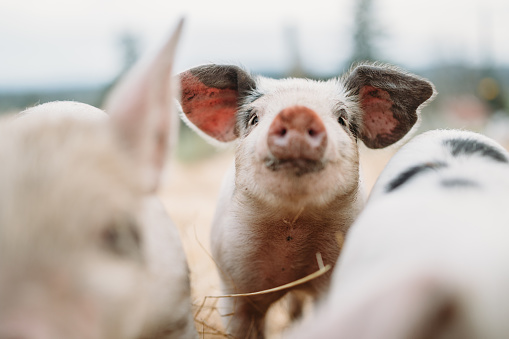 Domestic Pig「Cute Baby Pigs Close Up At Organic Farm」:スマホ壁紙(9)