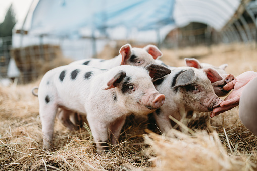 Domestic Pig「Cute Baby Pigs Playing at Organic Farm」:スマホ壁紙(16)