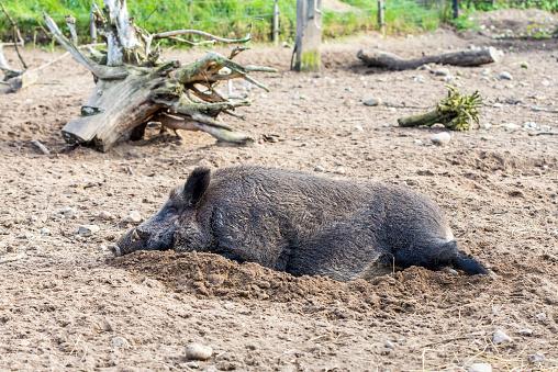 猪「Sleeping boar, Sus scrofa」:スマホ壁紙(4)