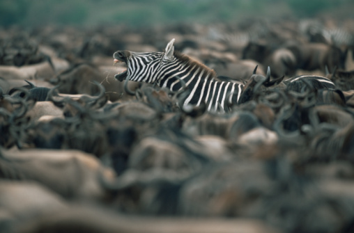 Endangered Species「Common zebra (Equus quagga) yawning amongst wildebeest herd (Connochaetes taurinus)」:スマホ壁紙(3)