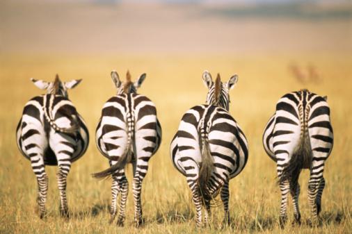 Zebra「Common zebra behinds 」:スマホ壁紙(19)