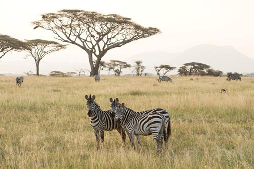 Three Quarter Length「Common Zebras (Equus quagga) stand in dry season savannah, Serengeti National Park」:スマホ壁紙(18)