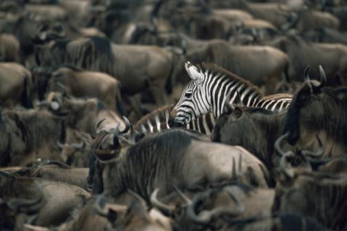 Ecosystem「Common zebras (Equus quagga) amongst wildebeest herd (Connochaetes taurinus)」:スマホ壁紙(12)