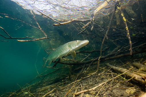 Pike - Fish「Northern Pike (Esox lucius), Echinger Weiher Lake, Germany」:スマホ壁紙(17)
