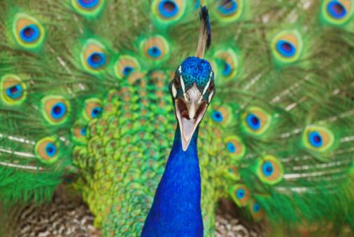 Beak「Common peafowl (Pavo cristatus) male calling」:スマホ壁紙(7)