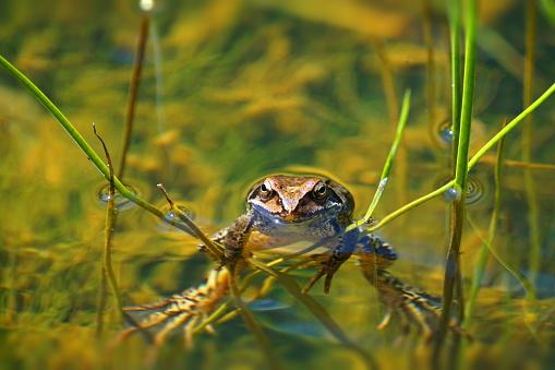 ぬるぬるした「池。一般的なカエル (Rana temporaria)。」:スマホ壁紙(19)