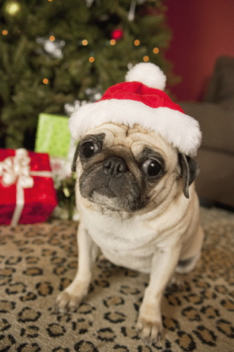 Santa Hat「Pug in Santa Claus Hat sitting on carpet, Christmas tree and Christmas presents in background」:スマホ壁紙(6)