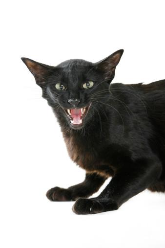 黒猫「Siamese」:スマホ壁紙(10)